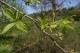 Eucommia Leaf plant extract