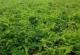 Vine tea plant extract