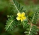 Tribulus extract,Tribuloside