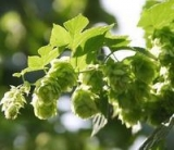European Hop Spike plant extract