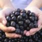 Huachengbio Acai Berry Extract